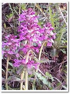 筑紫シオガマ20090508