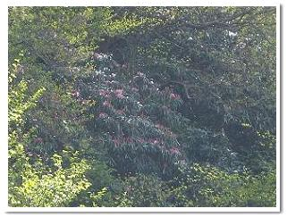 牧ノ戸峠の『石楠花』20090510