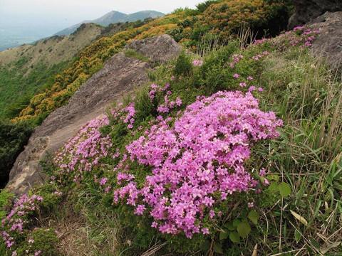 2010.06.04沓掛山付近のミヤマキリシマ