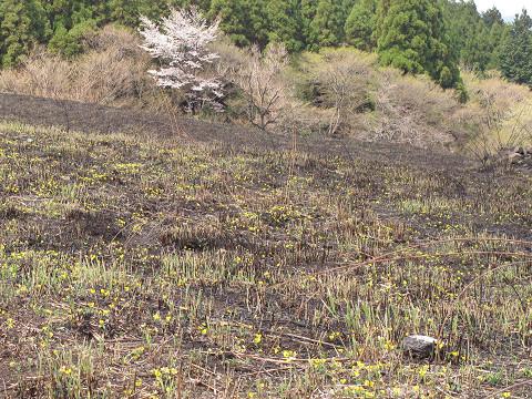 泉水山麓のキスミレ 2.11.04.23