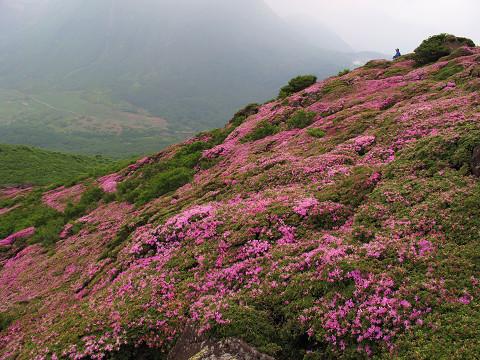 平治岳2011ミヤマキリシマ