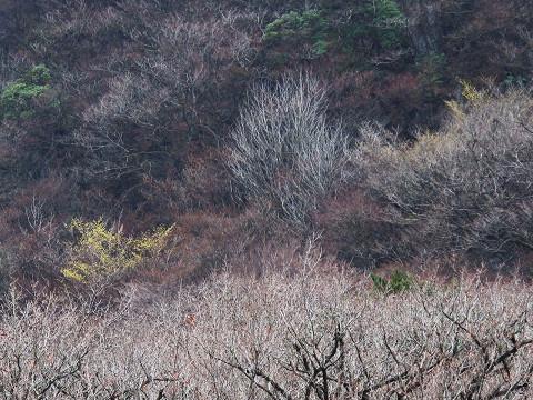 黒岩山のマンサク2012.3.18